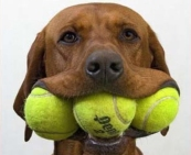 Dog-with-Tennis-Balls